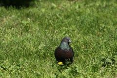 在草坪的鸽子 图库摄影