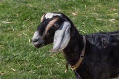 在草坪的黑山羊 库存照片