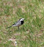 在草坪的令科之鸟 库存照片