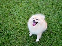 在草坪的Pomeranian 免版税库存图片