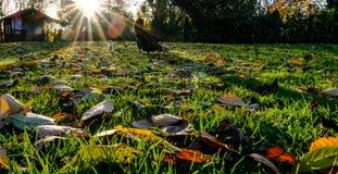 在草坪看见的腐朽的冬天叶子,也视线内母亲母鸡和她的小鸡 免版税库存图片