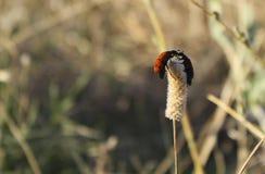 在草开花的两只甲虫 图库摄影