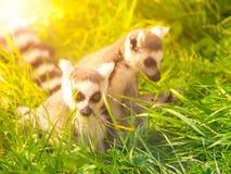 在草掩藏的两只逗人喜爱的狐猴,马达加斯加 免版税图库摄影