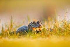 在草掩藏的凯门鳄 Yacare凯门鳄在水厂中,与开放枪口,潘塔纳尔湿地,巴西的鳄鱼画象  细节特写镜头p 图库摄影