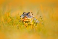 在草掩藏的凯门鳄 Yacare凯门鳄在水厂中,与开放枪口,潘塔纳尔湿地,巴西的鳄鱼画象  细节特写镜头p 库存照片