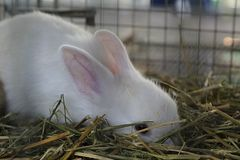 在草掩藏的白色兔子 免版税库存图片