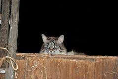在草料棚的谷仓猫 库存照片