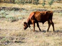 在草沙漠的母牛 库存照片