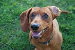 在草滑稽的耳朵的布朗达克斯猎犬 图库摄影