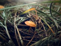在草特写镜头的不可食的蘑菇 免版税图库摄影