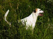 在草狩猎的黄色拉布拉多猎犬狗在游泳以后。 免版税库存图片