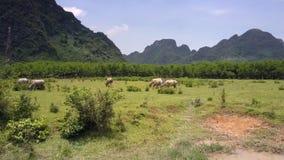 在草甸上的空中行动有吃草的水牛在天 股票录像