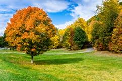 在草甸中间的槭树 免版税图库摄影