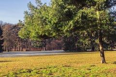 在草甸公园的绿色杉树 免版税库存图片