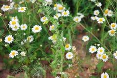 在草甸的野生春黄菊 库存图片