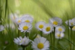 在草甸关闭的雏菊 库存图片