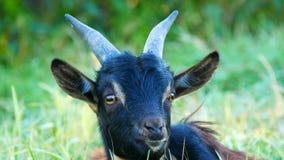 在草甸吃草滑稽的黑山羊的头  股票录像