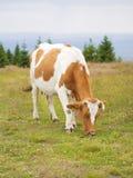 在草甸吃草的母牛 免版税库存图片