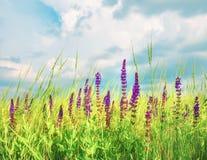 在草甸和美丽的天空的淡紫色野花 图库摄影