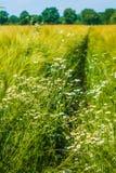 在草甸和麦子的野生春黄菊 本质的构成 库存图片