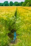 在草甸和麦子的野生春黄菊 本质的构成 库存照片