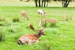 在草甸有树的,捷克风景的四头小鹿 库存照片