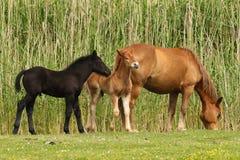 在草甸母马和两只驹的马 免版税库存图片