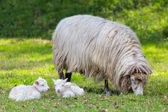 在草甸照顾与两只白色羊羔的绵羊 免版税库存图片