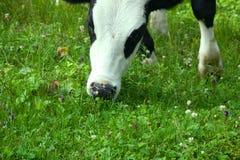 在草甸特写镜头的母牛 免版税库存图片