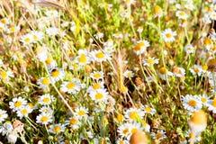 在草甸特写镜头的雏菊 免版税库存照片