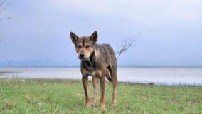 在草甸的一个狗身分有河的 影视素材