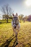 在草甸的一个美丽的白马 图库摄影