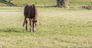 在草甸的一匹马 免版税库存图片