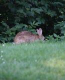 在草甸的一只兔子 免版税库存图片
