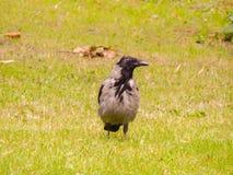 在草甸的一只大乌鸦 库存照片