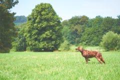 在草甸的一条红色irisch安装员狗 图库摄影