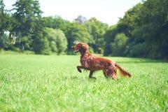 在草甸的一条红色irisch安装员狗 库存图片
