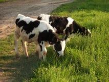 在草甸的一头小牛 库存图片