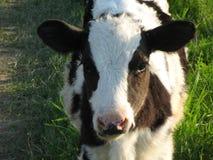 在草甸的一头小牛 库存照片