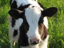 在草甸的一头小牛 免版税库存图片