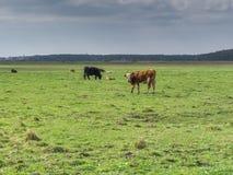 在草甸的一头母牛 库存图片