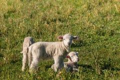在草甸的三只新出生的羊羔 库存图片