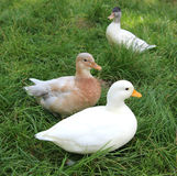 在草甸的三只鸭子 库存图片