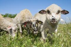 在草甸的三只滑稽的羊羔 免版税库存图片