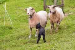 在草甸的三只绵羊 库存照片