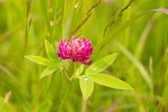 在草甸的三叶草花 库存图片
