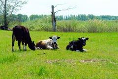 在草甸的三头母牛 免版税库存图片