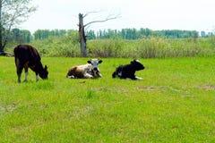 在草甸的三头母牛 库存图片
