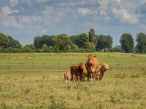 在草甸的两三头母牛立场 库存图片