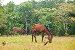 在草甸的两匹棕色马 免版税库存照片